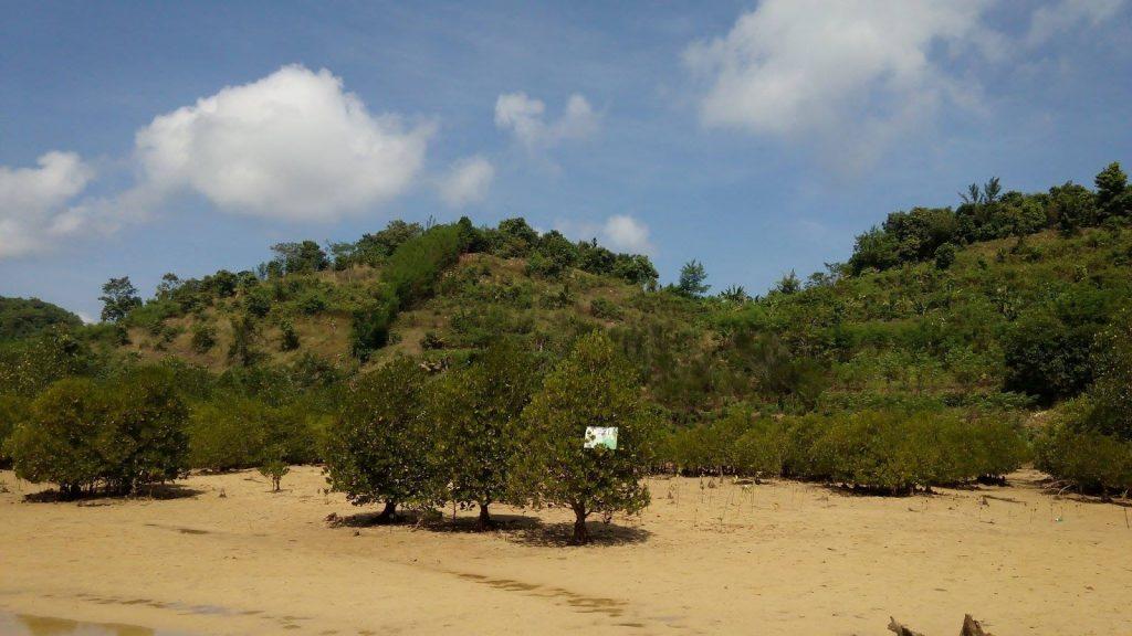 hutan mangrove di pantai 3 warna